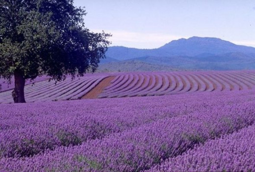 A sea of Lavenders are breathtakingly amazing!  There are 39 species of this plant and most are grown for  the essential oil of lavender; balms, salves, perfumes, and cosmetics. A high-quality honey is made in the Mediterranean..Flowers can be candi