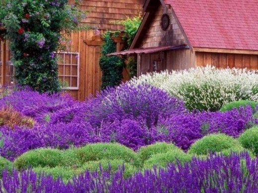 Who wants to live here? Beautiful use of lavender for landscaping.
