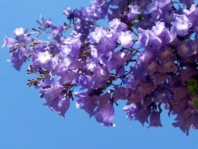 Jacaranda flowers...49 species.. are native to Mexico, Central America (Argentina, Brazil, Peru, Uraguay) and the Caribbean...but is found world-wide. They grow in well-drained soil and tolerate short bouts of draught, frost and freeze. In America it