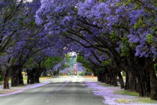 The Jacranda tree is the most form for this flowering plant. The city of Grafton, Austrailia is famous for its Jacarandas. Every year they have a festival in late October and early November when they are in full bloom and the people have parades, pub