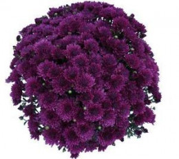 Peacock Chrysanthemum is very hardy..performs best in full sun but will tolerate partial shade. Very prolific with its blooms and will bloom from mid-summer to late fall until the frost takes them. A great perennial plant..use for cuttings indoors. W