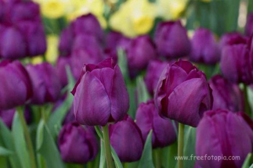 It has been said that the purple tulip is a reminder that the future can be better and that tomorrow brings another day. Hope for the future helps us through rough times so that we can grow and experience more love, peace and joy. Purple flowers mean