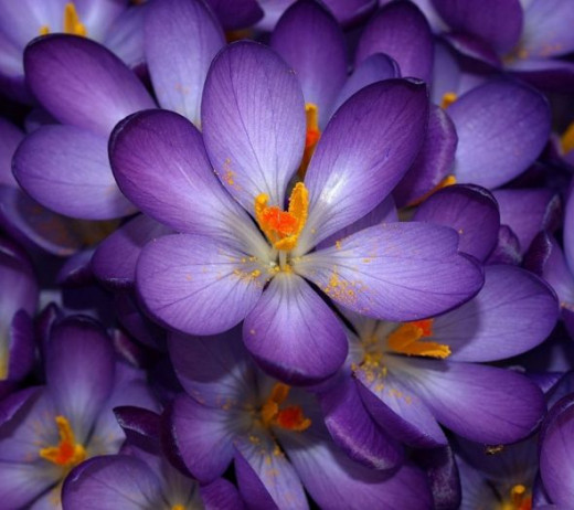Earliest  of all crocuses and are good for rock gardens, under trees and shrubs, in lawns, beds, borders and containers.