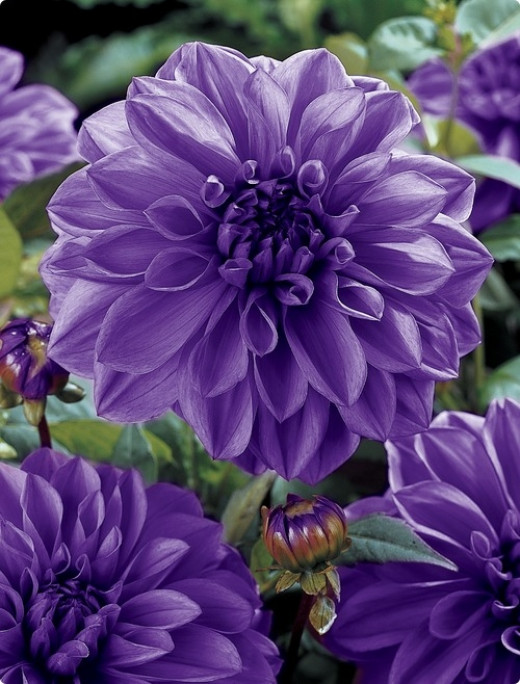 Dinner Plate Dahlia Lilac Time  from dutchbulbs.com  Prize-winning size and most spectacular!  Hardy in zones 8-10