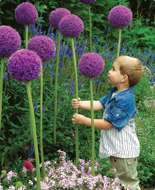 Allium Gladiator is a stunning flower !  Hardy in zones 3-8 from dutchbulbs.com  Our neighbors next door grew these and they were awesome!