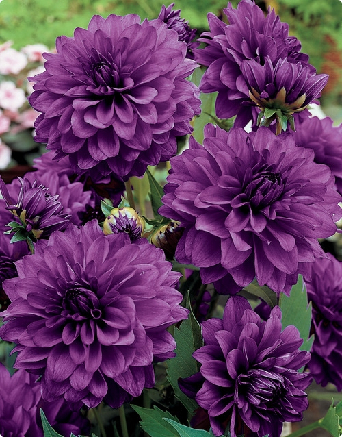 Dahlia Blue Bell from dutchbulbs.com  GORGEOUS !  Hardy in zones 8-10