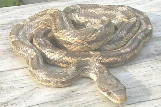 Adult Texas Rat Snakes look very much like Copperheads but are not poisonous.