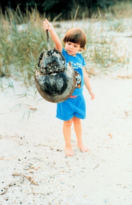 Young boy naturalist holding his prize, a horseshoe crab shell