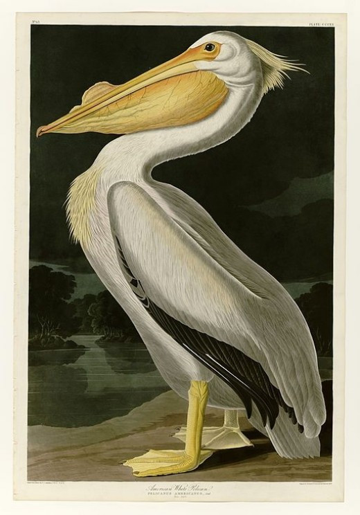 John James Audubon's American Pelican