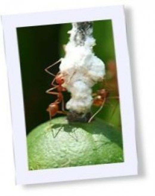 ants, weaver ants