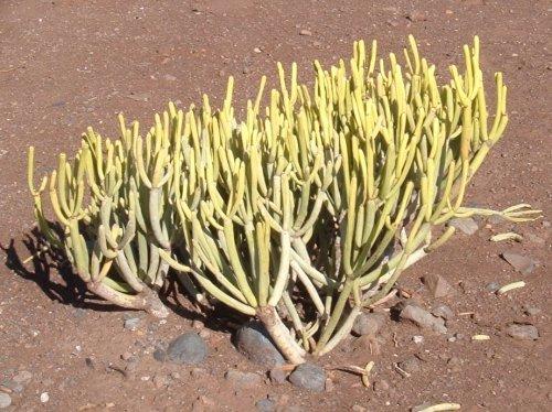Tolda (Euphorbia aphylla)