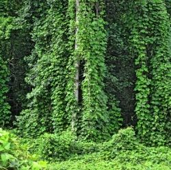 Photo shows how kudzu can overtake a landscape. Kudzu, which was introduced to control soil erosion, now covers more than 7 million acres of the Southeastern USA.