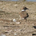 George the killdeer and his family