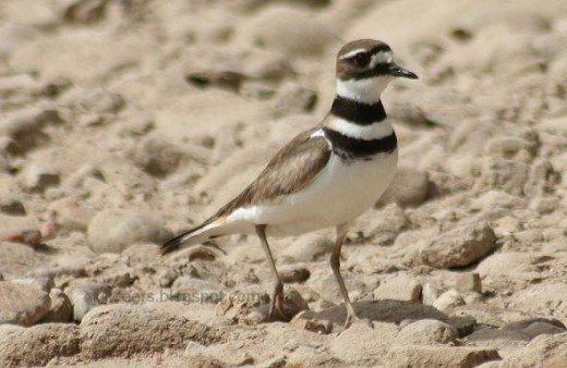 The killdeer across the lake