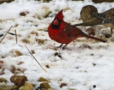 This bird is looking up from the feed under my bird feeder.  I love the bright red color against the white snow.