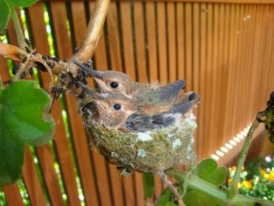 Hummingbird nest on geranium 2009 - in the back porch