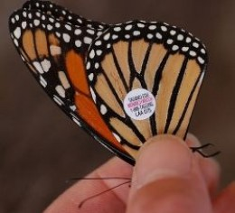 Monarch Butterfly With Tracking Tag