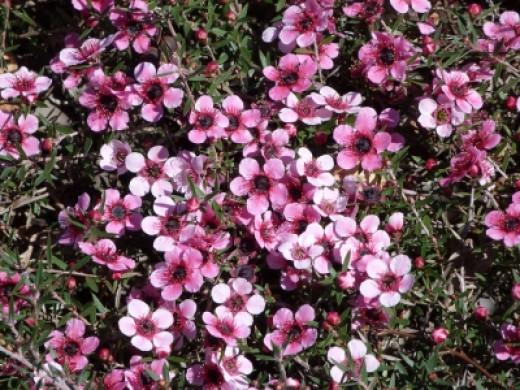 Closeup of Australian tea tree flowers