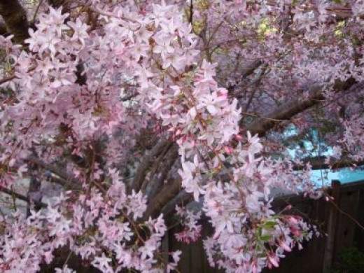 Cascading fronds of Prunus Mt. Fuji cherry blossoms