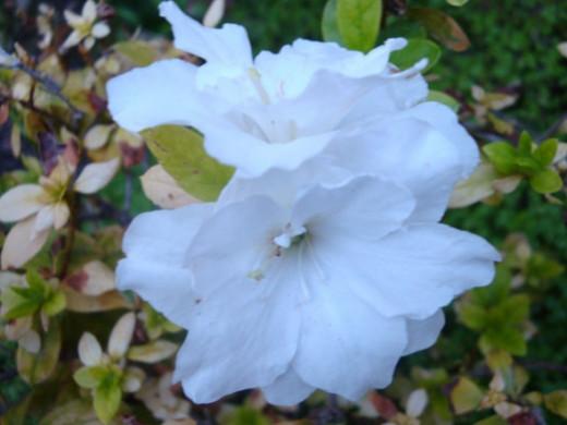 The white azalea looks so pristine and pure in its simplicity.
