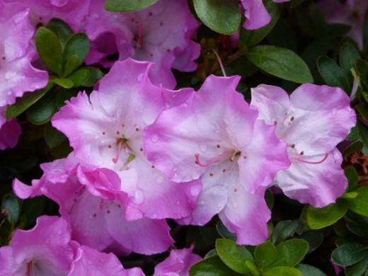 Rain-drenched pink and white azaleas look like ruffly parasols.