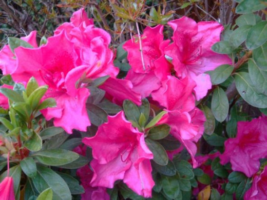 Red azaleas have always been scene stealers.