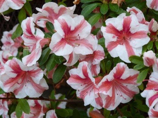 Candy-striped azaleas look good enough to eat.