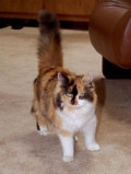 The Rescued Calico Cat