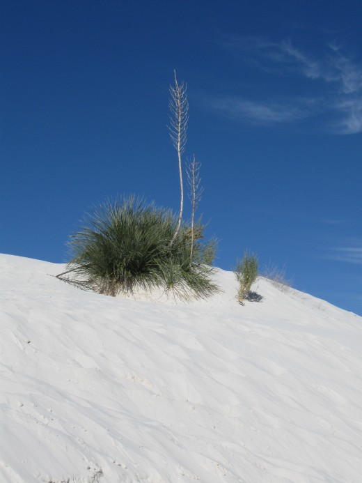 A desert yucca plant provides a bit of color sitting atop a sand dune in White Sands National Monument