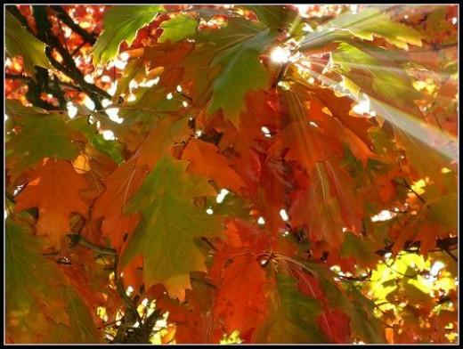 Arrowtown leaves