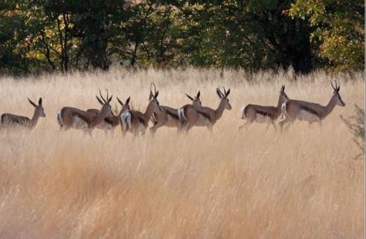 Antelope by D Woollacott