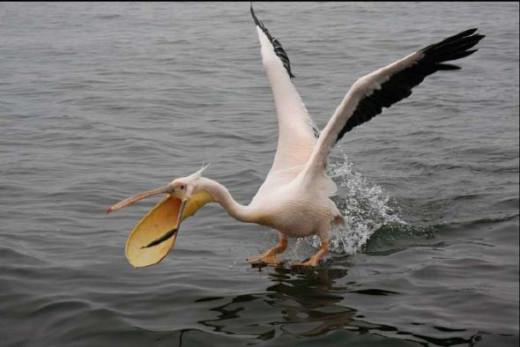 Pelican by D Woollacott