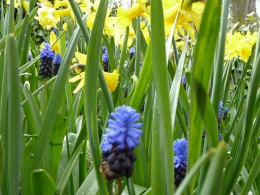 Grape hyacinths come in a two tone version.  I like them this way!