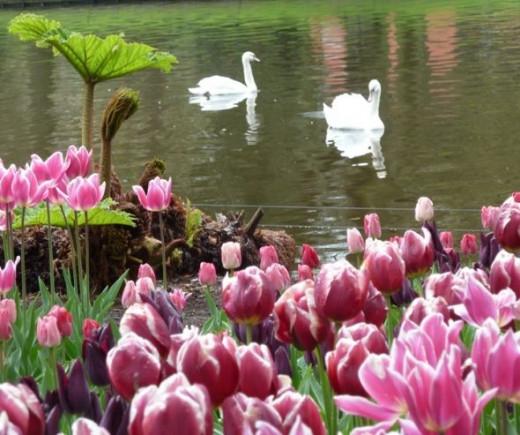 tulip pictures keukenhof