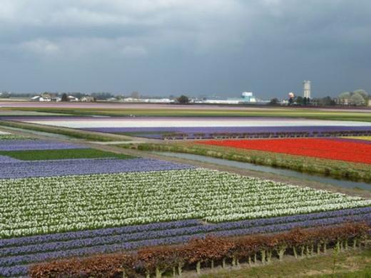 tulip fields lisse