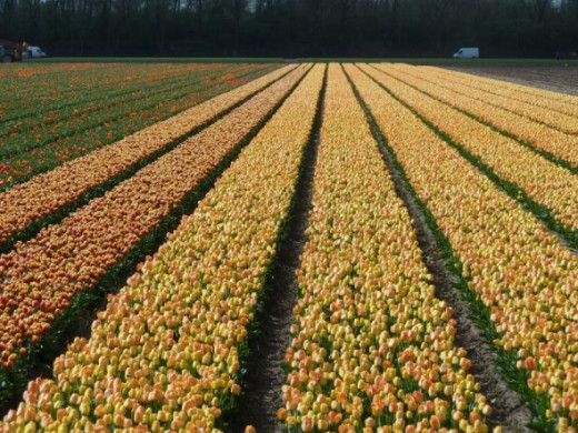Yellow tulip fields look so sunny even in the rain.