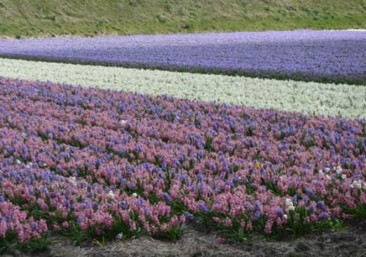 Bulb fields with mixed colors are not so common, but they exist.  This one is quite a sight with all of its pinks and purples.