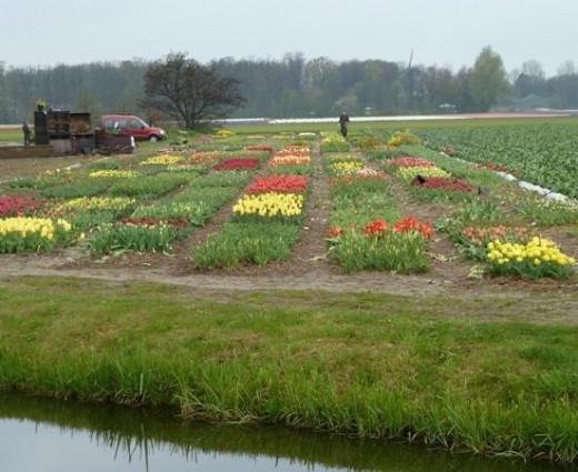 tulip pictures holland