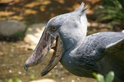 shoebill Stork feeding