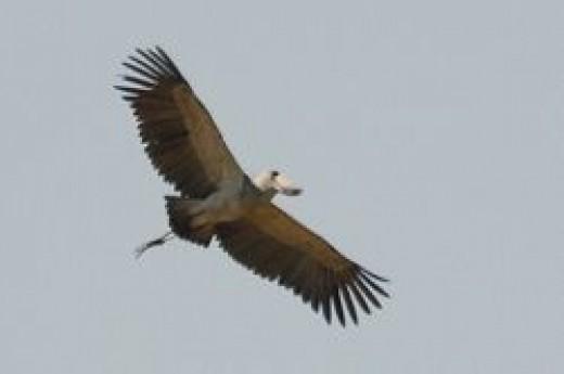 Shoebill Stork in Flight