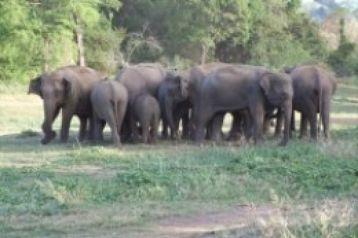 Elephants at Udawalawa national Park