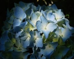 Blue Hydrangea by ItayasDesigns