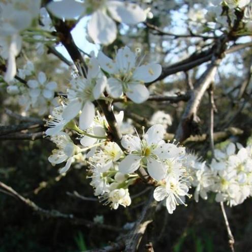 Plum Tree Blossoms