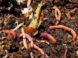 Red Worms Composting