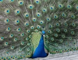 Pedro The Peacock