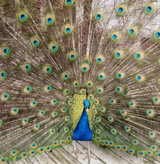Pedro Peacock Dancing