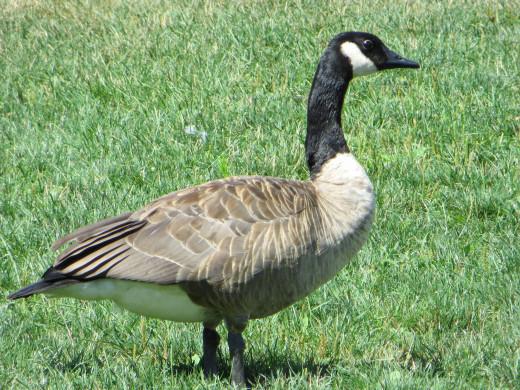 Canadian Goose at Port Credit Memorial Park
