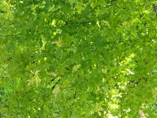 Close-up of green Maple leaves