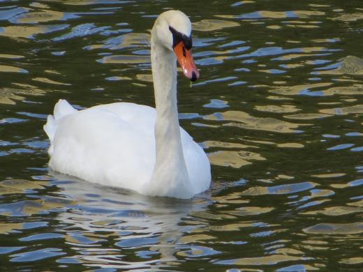 Swan at Port Credit Saddington Park