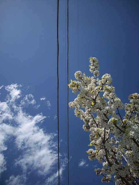 Springtime Blue Skies and Flowering Tree